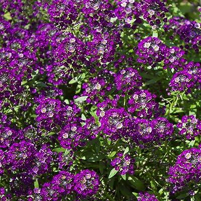 Outsidepride Alyssum Oriental Nights - 5000 Seeds: Garden & Outdoor