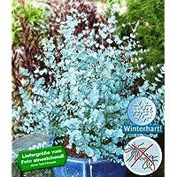 BALDUR-Garten Winterharter Eukalyptus 'Azura' Blaugummibaum, 1 Pflanze Eucalyptus gunni echter Eukalyptus