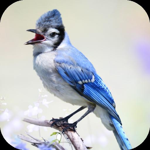 Blue Jay Sounds