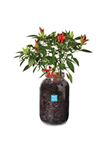 Back to the Roots Self-Watering Chili Planter, Grow Organic Chili Peppers Year Round, Windowsill Grow Kit, Top Gardening Gift, Holiday Gift, & Unique Gift