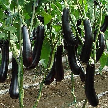 10  AUBERGINEN  ITALIEN LONG PURPLE    SÄMEREIEN GEMÜSE   Samen  Tomaten