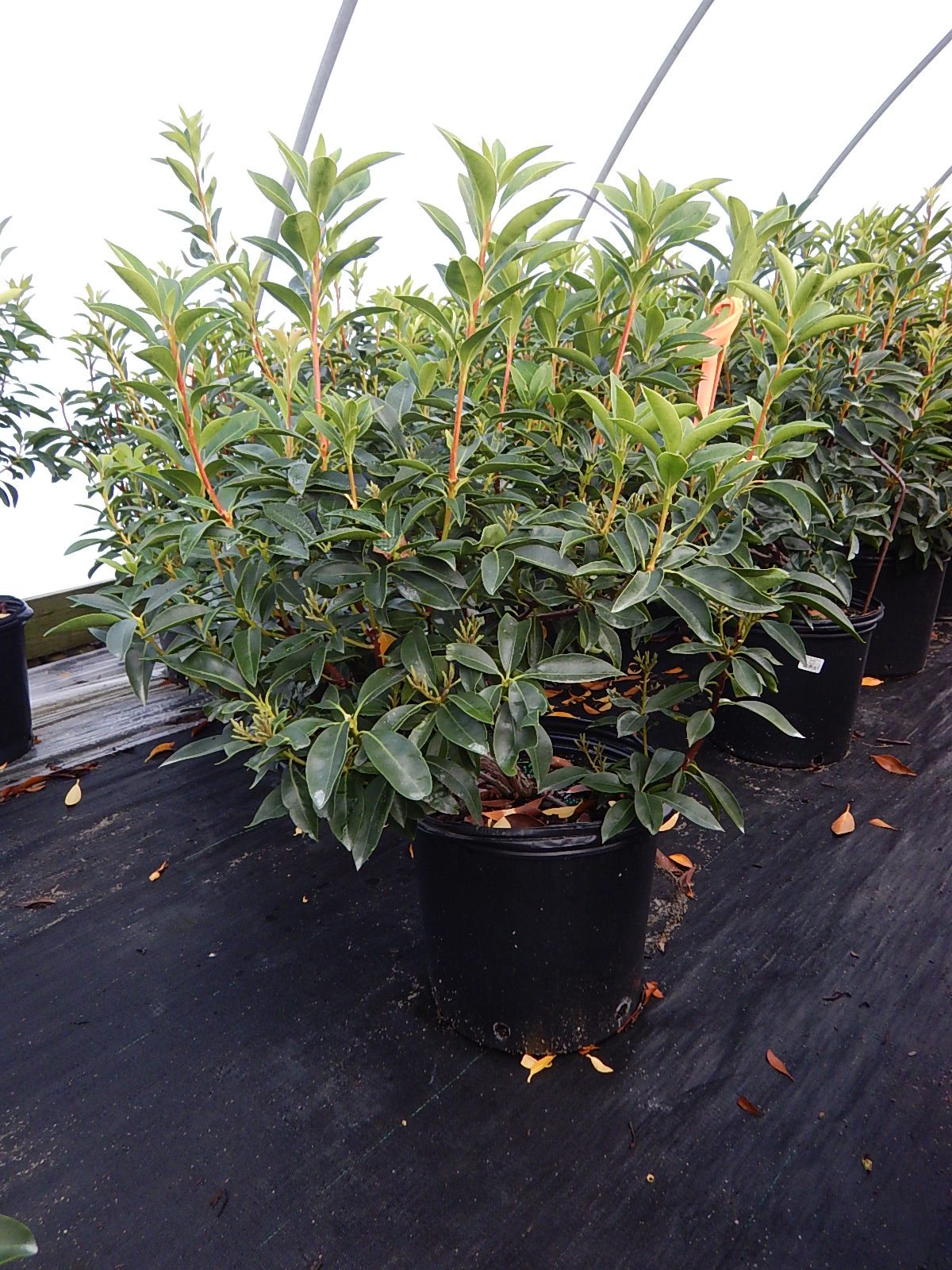 Kalmia lat. 'Sarah' (Mountain Laurel) Evergreen, pinkish-red flowers, #3 - Size Container by Green Promise Farms (Image #4)