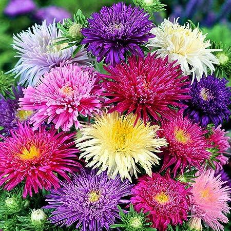 Aimado Seeds Garden-50 Pcs Reine-marguerite Super Princesse ...