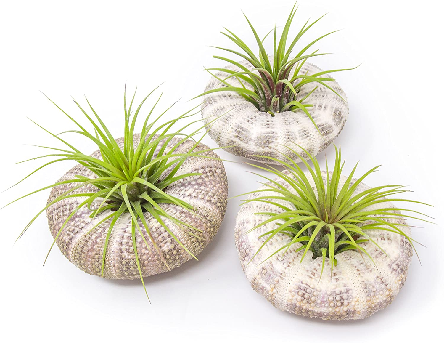 Air Plant Sea Urchin Kit 4 Pack, Large Natural Shell Containers Holder for Live Tillandsia Jellyfish Stand Indoor Home Decor by Plants for Pets