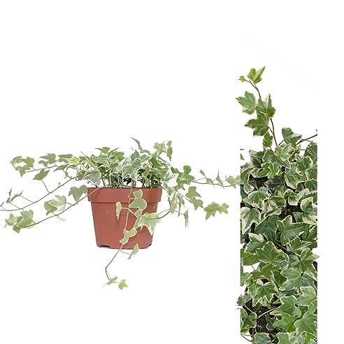 Efeu Zimmerpflanze efeu hedera grün weiß zimmerpflanze amazon de garten