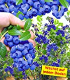 BALDUR-Garten Trauben-Heidelbeere 'Reka® Blue', 1 Pflanze, Vaccinium corymbosum