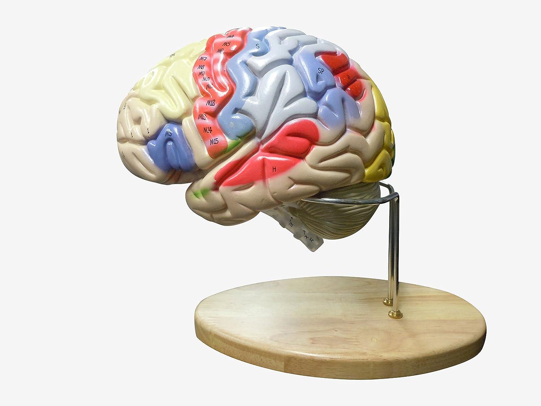 【値下げ】 人体模型 スタンド付き 脳2倍拡大 領域解説模型 領域解説模型 スタンド付き B00NAT2AHE B00NAT2AHE, フジネットショップ:4ec789f1 --- a0267596.xsph.ru