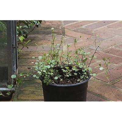 Muehlenbeckia axillaris (1Gal) : Garden & Outdoor
