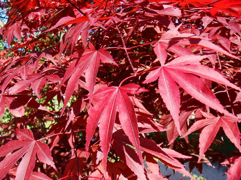 Amazon Com Red Japanese Maple Acer Palmatum Atropurpureum Tree