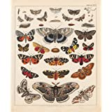 Vintage Butterflies Posters Prints Art Insects Butterfly Breeds Collection Identification Reference Chart Diagram Pop Wall Decor