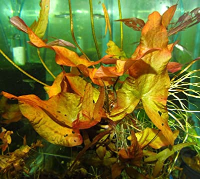 Dwarf Lily Bulb Live Freshwater Aquarium Plant