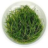 "SubstrateSource Eleocharis sp. ""Dwarf Hairgrass"" Live Aquarium Plant - Tissue Culture Cup"