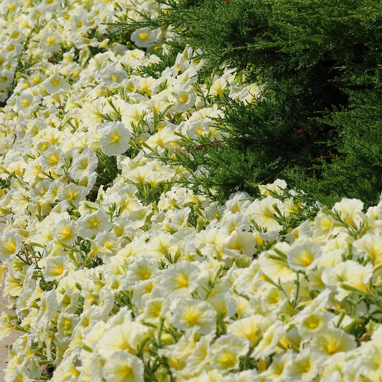 Pelleted Petunia Seeds Yellow Madness 50 Pelleted Seeds