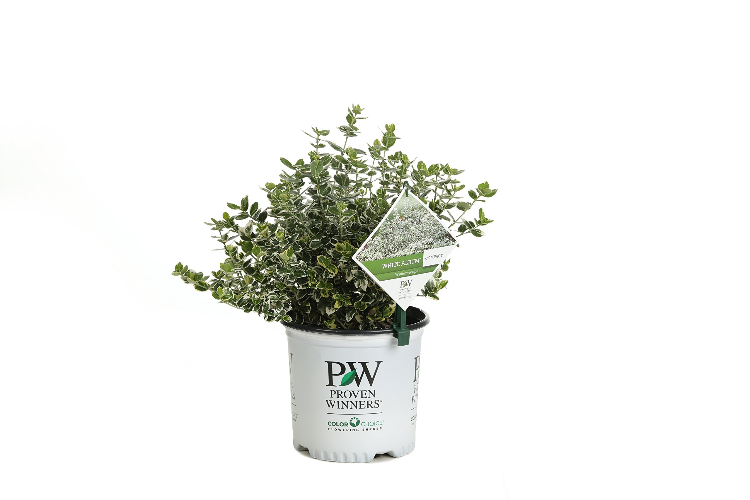 1 Gal. White Album Wintercreeper (Euonymus) Live Shrub, Green and White Foliage