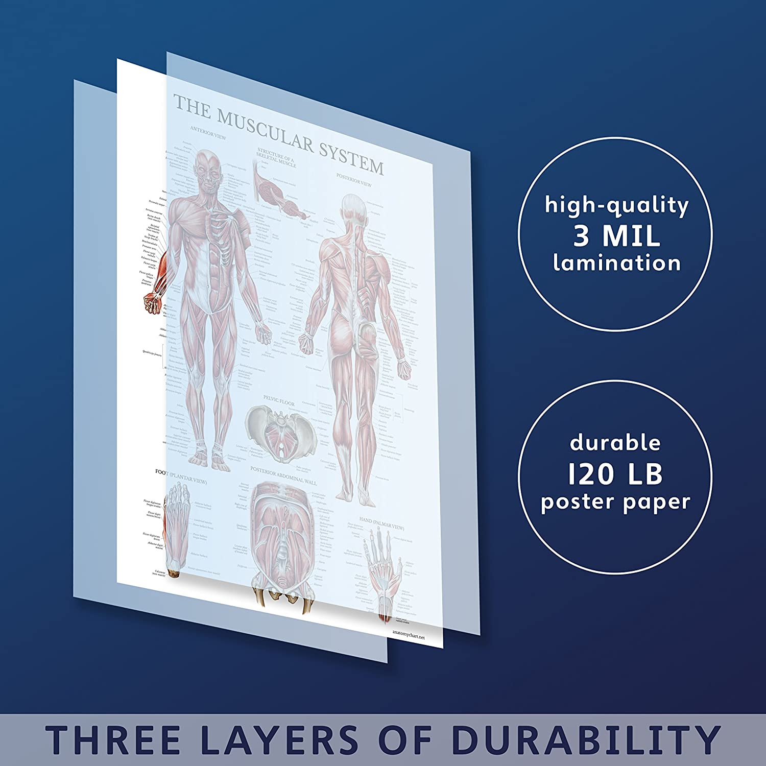 18 x 27 Set of Two Muscular System Anatomical Posters LAMINATED 2 Poster Set Palace Learning . Muscle Anatomy Charts