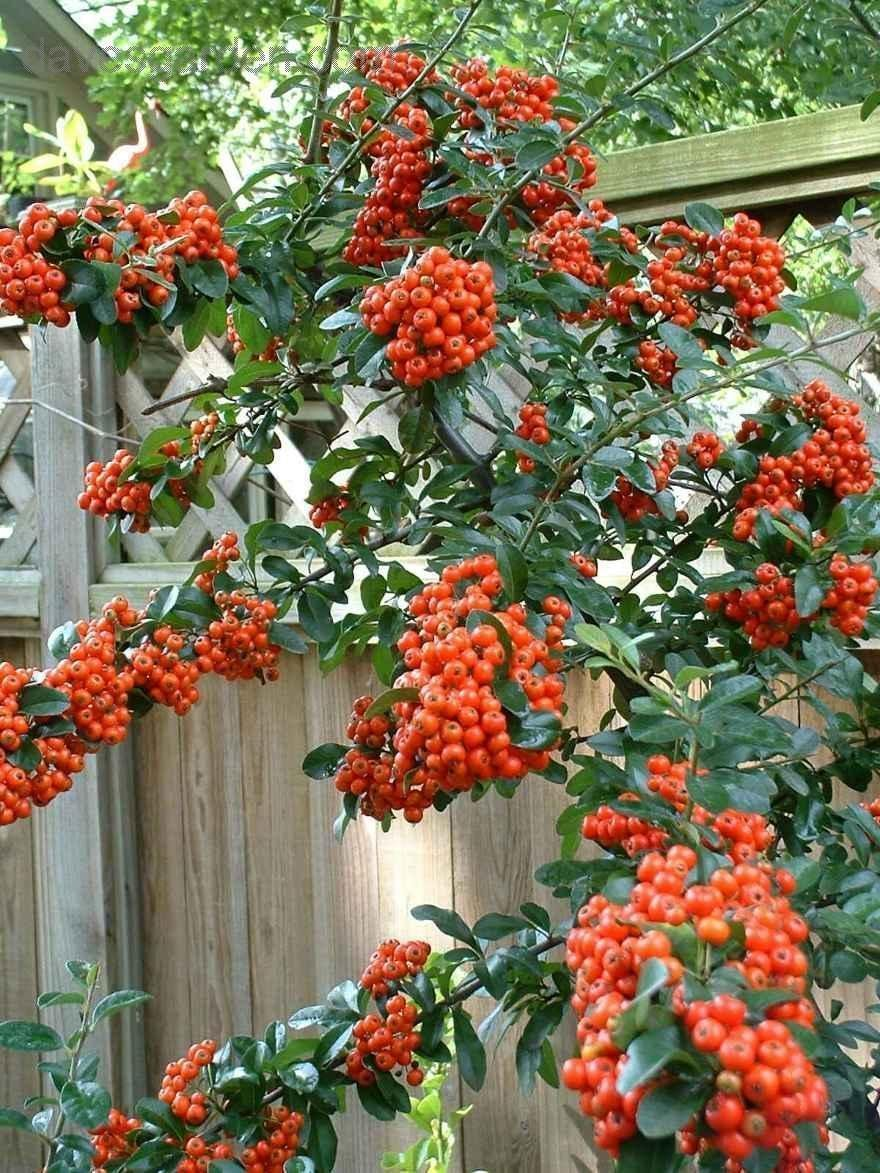 Picture of Live Mohave Pyracantha  aka Pyracantha x 'Mohave' Shrubs Plant Fit 1 Gallon Pot