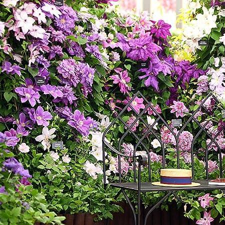 Yukio Samenhaus 30 Stuck Clematis Waldrebe Kletterpflanzen