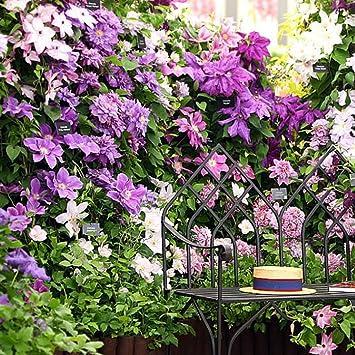 Yukio Samenhaus 30 Stück Clematis Waldrebe Kletterpflanzen