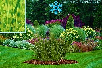 Ziergras Garten wunderschönes winterhartes gestreiftes ziergras miscanthus sinensis
