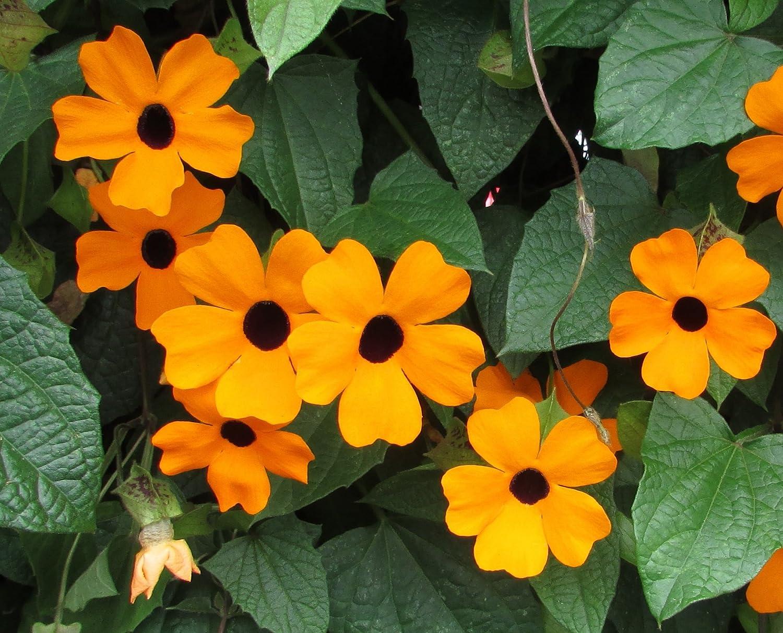HEIRLOOM NON GMO Black-Eyed Susan Vine 25 seeds