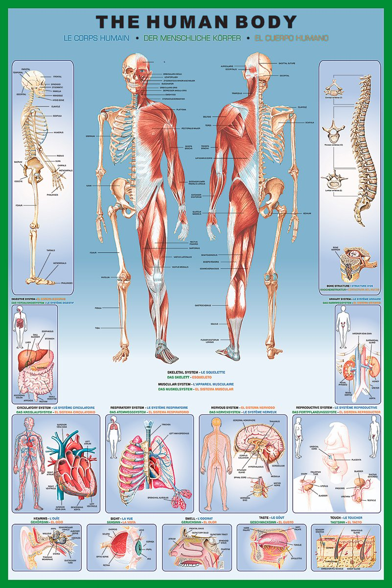 Amazon.com: Human Body Education Poster Print, 24x36 Collections ...