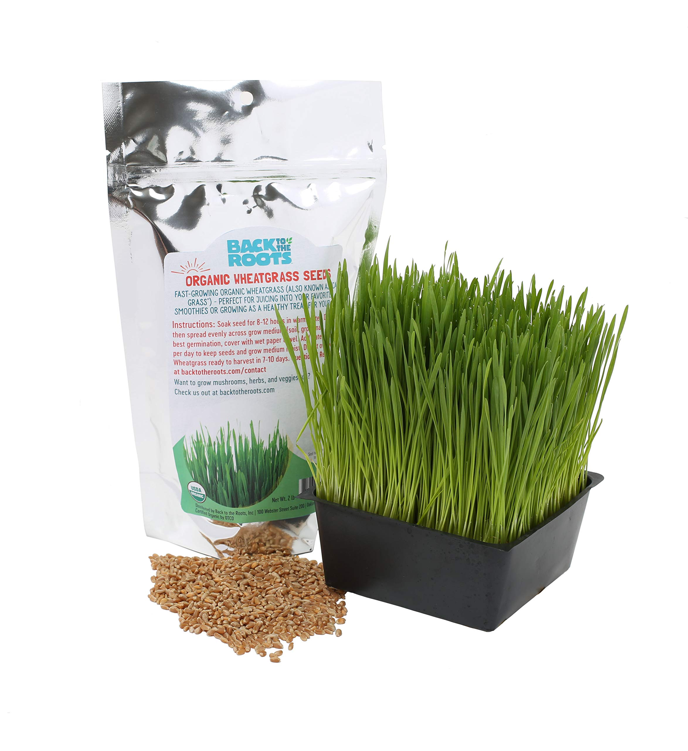 Back to the Roots Organic Cat Grass Seeds, Wheatgrass Seeds for Planting, 2lb Bag, Grow Wheatgrass Plant Indoors in 5-7 Days, Guaranteed to Grow, Natural Hairball Remedy for Cats, Non-GMO, Made in USA
