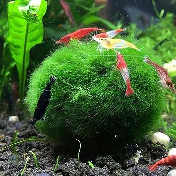 goldmice Natural Acuario Decoración Acuáticos vida Marimo Musgo bolas Betta planta acuario plantas: Amazon.es: Productos para mascotas