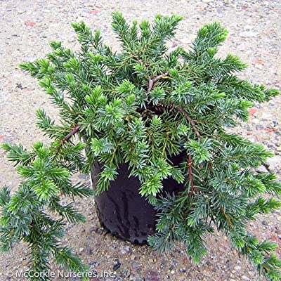 Blue Pacific Juniper - 3 Gallon : Garden & Outdoor