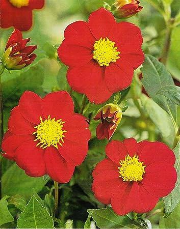 Garthwaite nurseries potted firebird mignon dahlia red flower garthwaite nurseries potted firebird mignon dahlia red flower with a bright yellow centre mightylinksfo