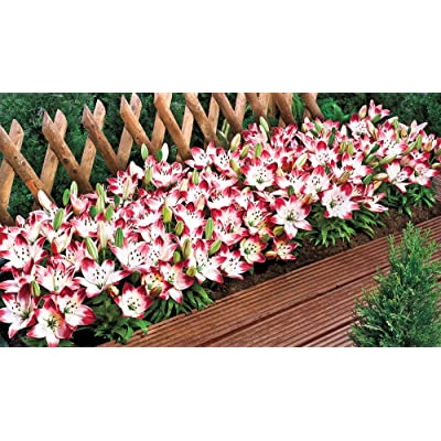 BRECK'S - Sugar Baby Carpet Border Lily - Create a Prolific Sea of Lilies! Idyllic and Gorgeous to The Eyes, This Picture-Perfect Flower Will Add Head-Turning Color to Your Garden.10 Bulbs. : Garden & Outdoor