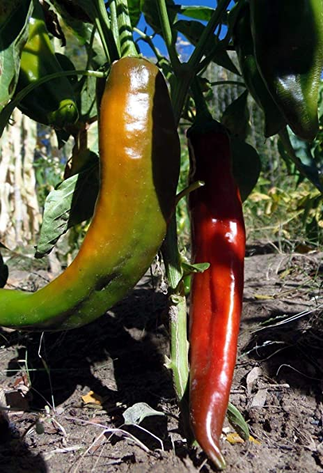 NON-GMO FREE SHIPPING! JUNIE  PEPPER SEEDS HEIRLOOM 2020 25 NEW MEXICO MS