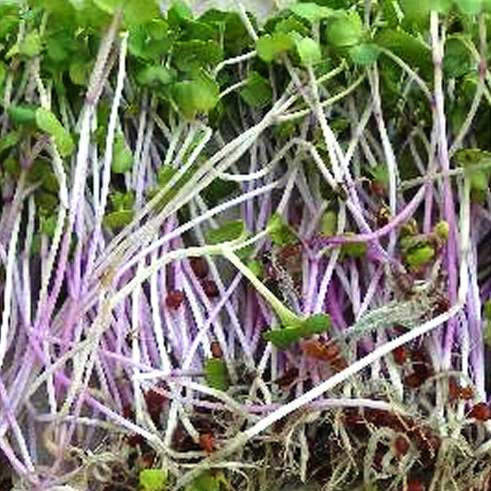 Triton Purple Radish Sprouting Seeds - 5 Lb Bulk Seed - Non-GMO Purple, Red, Green Sprouts- Sprout and Microgreen Radishes