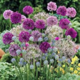 Hardy Allium Bulb Collection Plant with 100 Bulbs in 7 Varieties