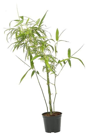 Admirable Buddha Bamboo Green Pot Included Treemendous Product Interior Design Ideas Oteneahmetsinanyavuzinfo