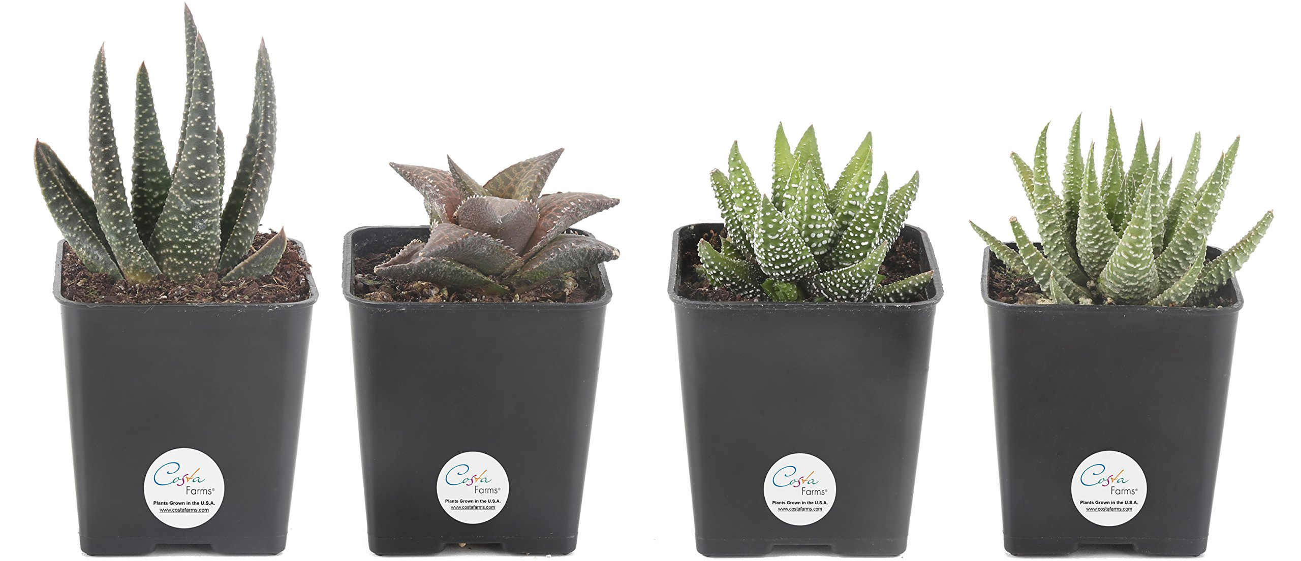 Costa Farms Premium Live Haworthia Succulent Plant, 4 Pack Grower Choice Assortment in 2.5'' Grower Pot