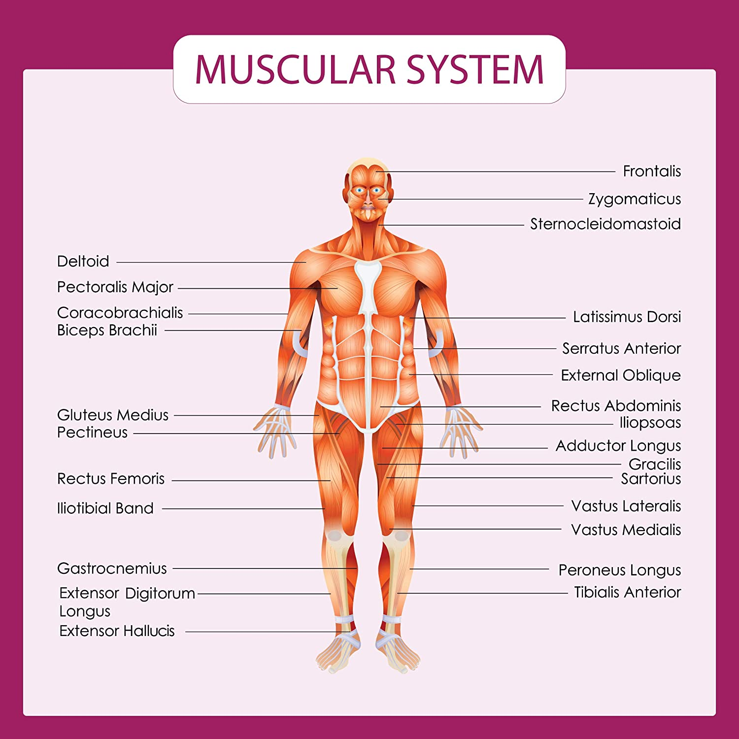 Amazon Human Body Systems Educational Posters Circulatory
