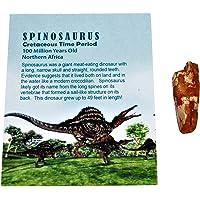 Spinosaurus Dinosaur Tooth Fossil 1 to 1 1/2 inch Size Medium w/COA #1682 4o