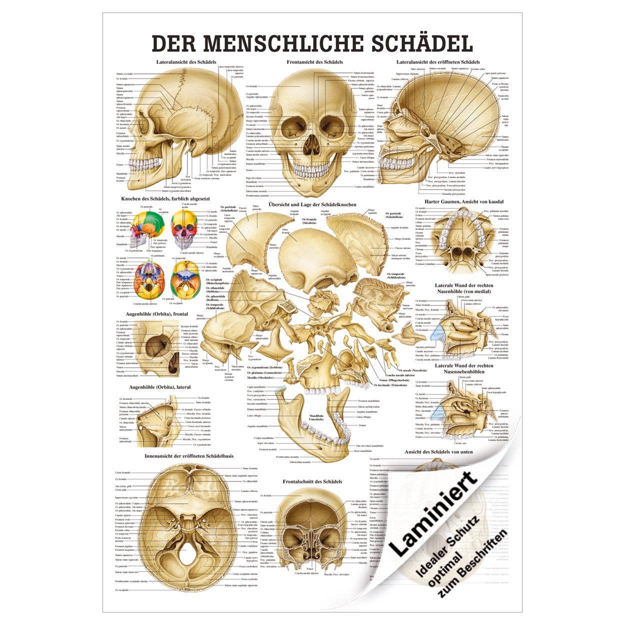 Fein Muskeln Des Weichen Gaumens Anatomie Zeitgenössisch ...