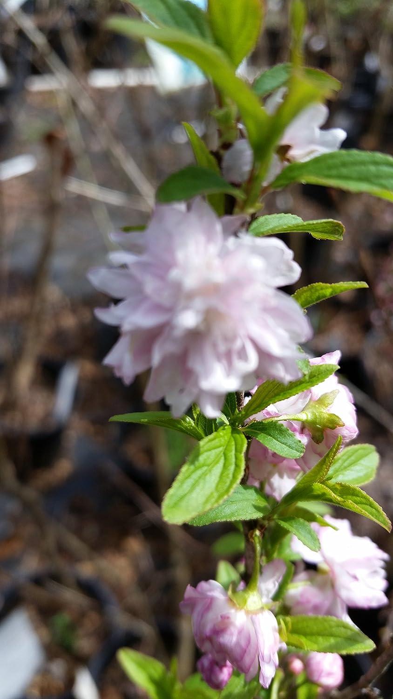 Amazon 1 Gallon Pink Flowering Almond Shrub Gorgeous Rows Of