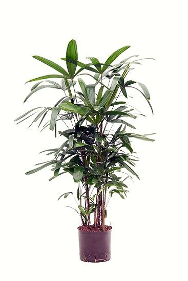 Zimmerpflanzen Schatten steckenpalme 120 cm in hydrokultur 22 19er kulturtopf pflegeleichte