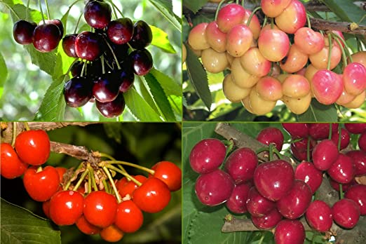 Amazon Com 4 In 1 Cherry Jubilee Tree 4 Unique Cherry