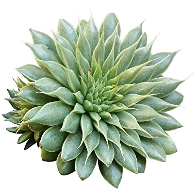 Graptoveria Silver Star Succulent (4 inch) : Garden & Outdoor