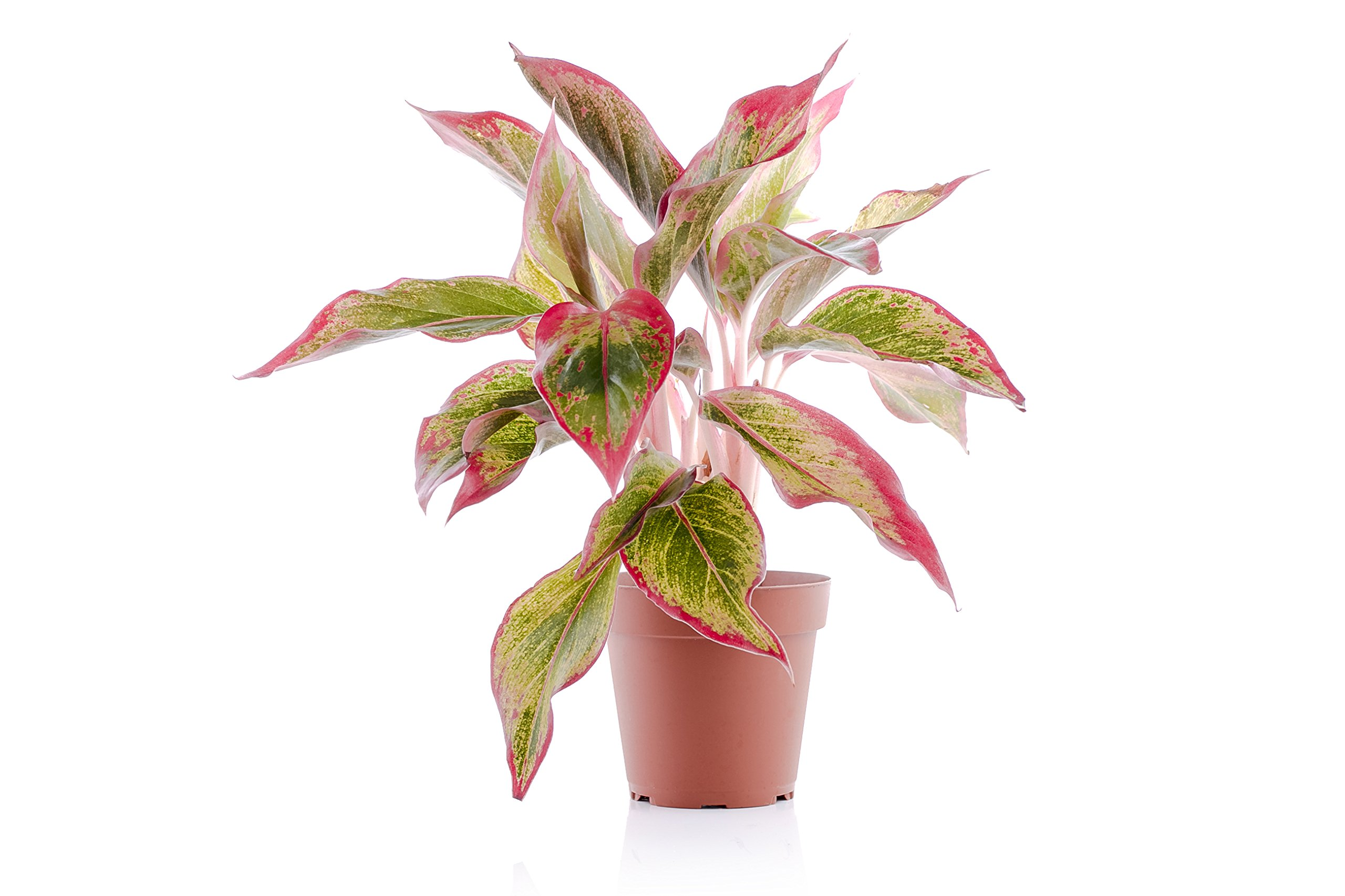 Set of 4 Indoor Plants - Live Potted Plants for Your Home or Office - Includes Red Aglaonema, Snake Plant, Philodendron, and Peace Lily - Great for Interior Decorating and Cleaning the Air by BDWS (Image #4)