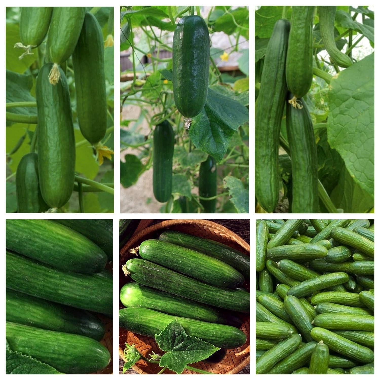 Cetriolo - Coltivazione sotto le copertine - Set di 6 varieta vegetali -