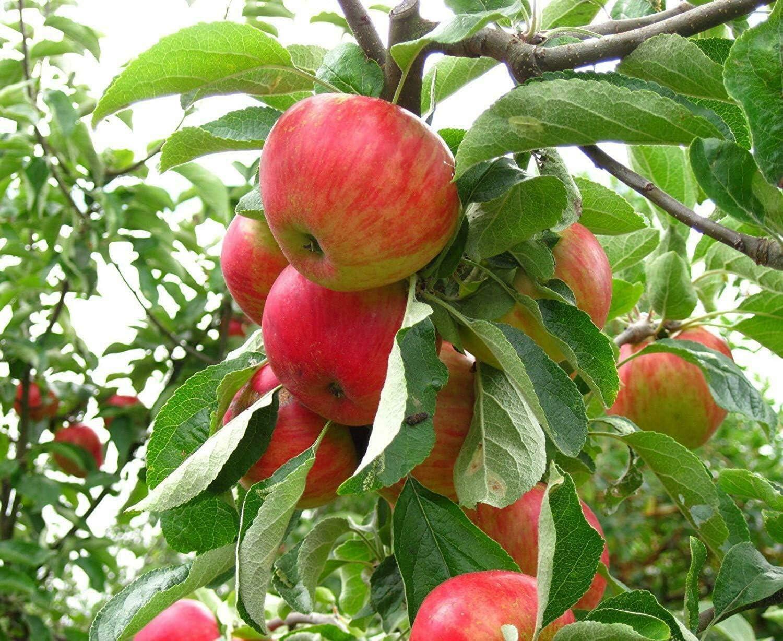 SmartMe Dwarf Honey Crisp Apple Tree 2-3 FT Fruit Trees Live Plants Trees
