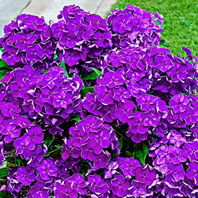BRECK'S - Desire Bambini Summer Blooming Purple Phlox - A Compact re-Blooming Summer Phlox in a Glorious Shade of Light Purple - Includes one Bare Root Plant per Offer : Garden & Outdoor