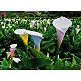 Rare 2G Multicolored Calla Lily Seeds Flower Bonsai Potted Garden Plant Perennial