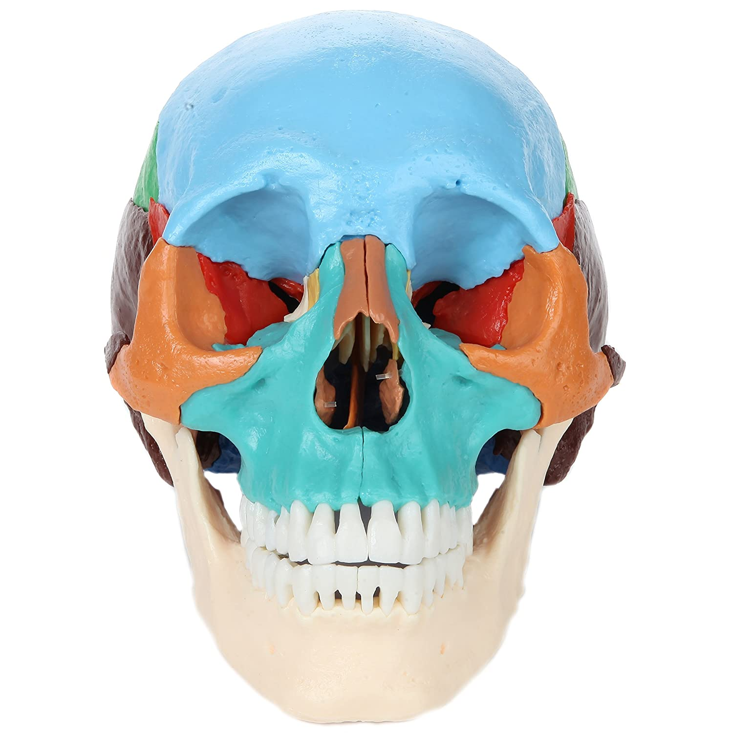 3 Year Warranty Axis Scientific 3-Part Human Skull Model with Removable 8-Part Brain Life Size Plastic Skull is Molded from a Real Human Skull Includes Detailed Product Manual
