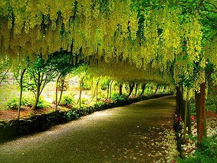 Final, golden shower cypress final