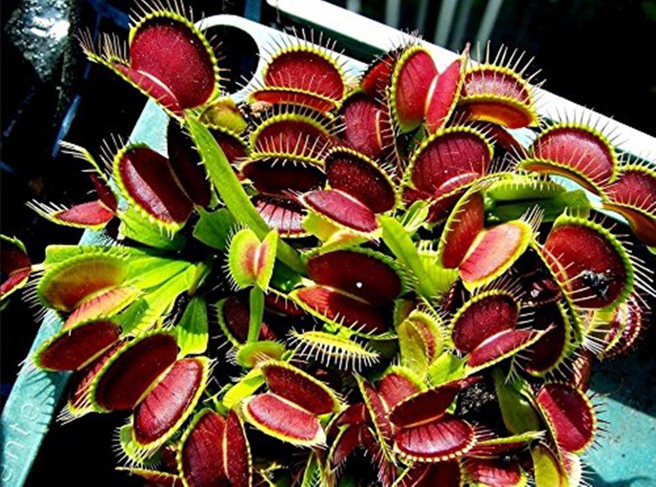 Dionaea muscipula - dionea atrapamoscas o Venus atrapamoscas - 20 ...